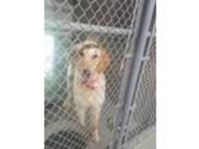 Adopt Female Goldendoodle a Golden Retriever / Poodle (Standard) / Mixed dog in