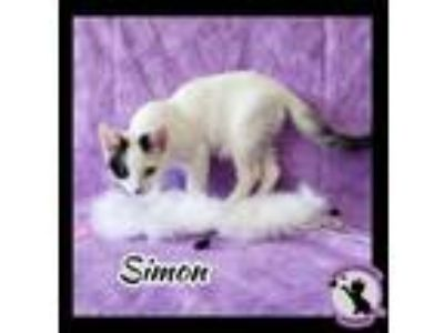 Adopt Unnamed White Kitten a Domestic Short Hair