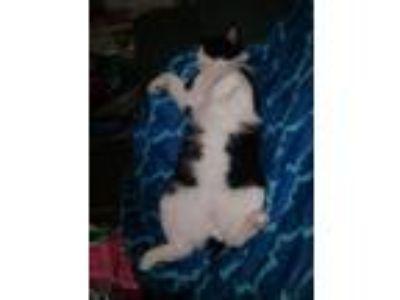 Adopt FINN a Black & White or Tuxedo American Shorthair cat in Kerman