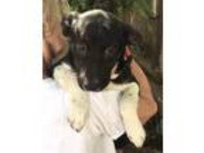 Adopt Layce - gorgeous puppy a Border Collie
