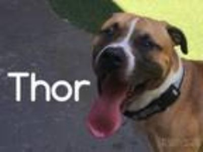 Adopt Thor a American Staffordshire Terrier, Pit Bull Terrier