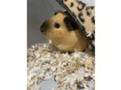 Adopt Tots a Golden Guinea Pig small animal in Seattle, WA (25317767)