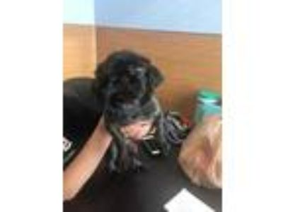 Adopt Ballerina a Black Mixed Breed (Small) / Mixed dog in Chamblee