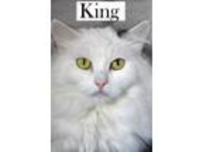 Adopt King a Domestic Long Hair