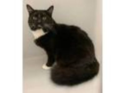Adopt Wally a Domestic Medium Hair