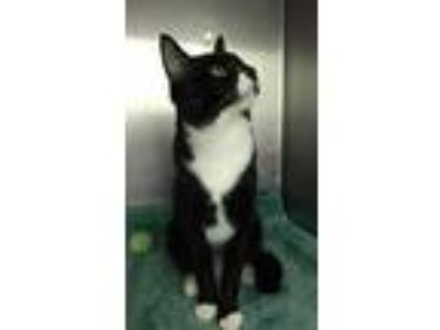 Adopt Junior a Black & White or Tuxedo Domestic Shorthair / Mixed cat in