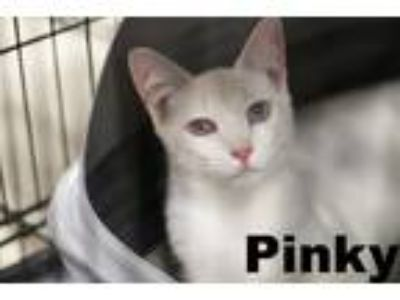 Adopt PINKY a Cream or Ivory (Mostly) Siamese (short coat) cat in Brea