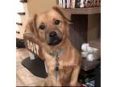 Adopt Marley a Labrador Retriever, German Shepherd Dog