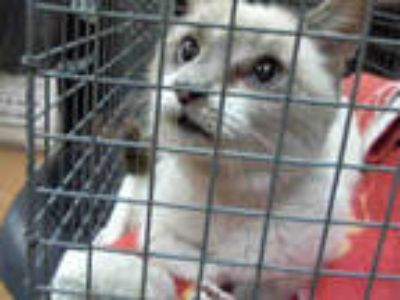 Adopt *MEISA a White (Mostly) Siamese / Mixed (short coat) cat in Sacramento
