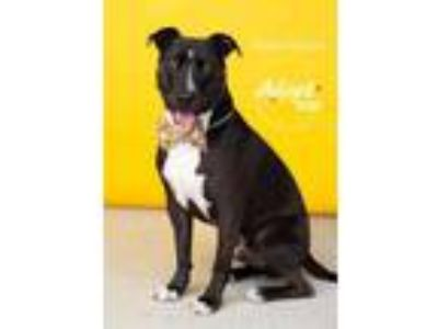 Adopt Rock Hutson a Black American Pit Bull Terrier / Border Collie / Mixed dog