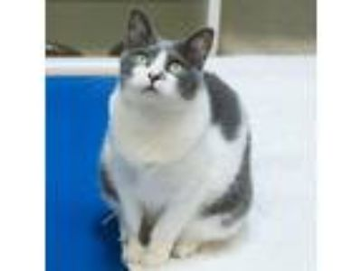 Adopt Cookie a Gray or Blue (Mostly) Domestic Shorthair (short coat) cat in
