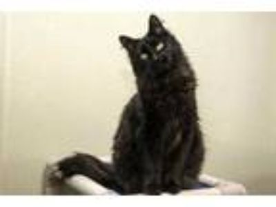 Adopt Leo Decatrio a All Black Domestic Mediumhair / Domestic Shorthair / Mixed