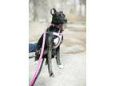 Adopt Savanna - adoption pending a Black - with White Whippet / Greyhound /