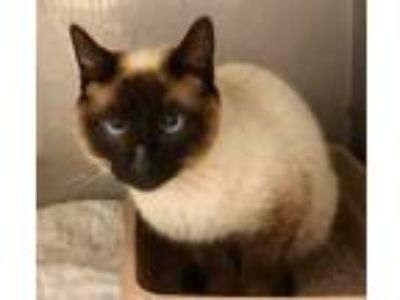 Adopt 16919 a Brown or Chocolate Siamese (short coat) cat in Franklin