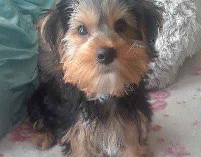 Yorkshire Terrier, Purebred