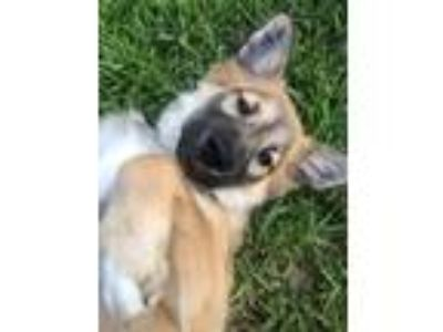 Adopt Ariel a Brown/Chocolate Siberian Husky / German Shepherd Dog / Mixed dog