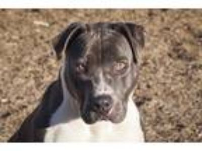Adopt Cooper a Pit Bull Terrier / Mixed dog in Napa, CA (24397543)