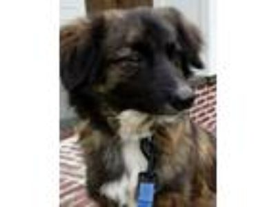 Adopt Jordan, both dog and cat friendly! a Australian Shepherd