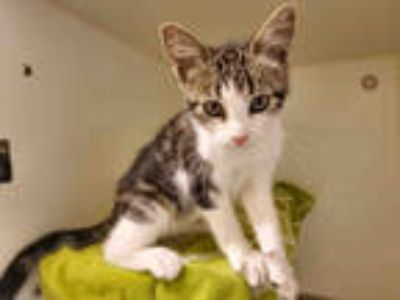 Adopt KAZ a Brown or Chocolate (Mostly) Domestic Shorthair / Mixed (short coat)