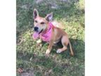Adopt Missie a Tan/Yellow/Fawn German Shepherd Dog / Labrador Retriever / Mixed