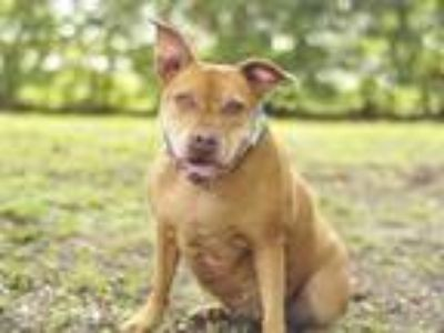 Adopt ROSE a Red/Golden/Orange/Chestnut Boxer / Mixed dog in Tavares