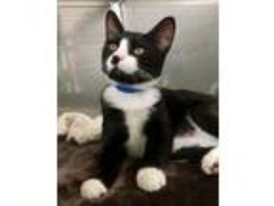 Adopt Opie (bonded with Oscar) a Domestic Short Hair