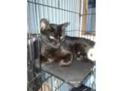Adopt Beauty a Domestic Short Hair