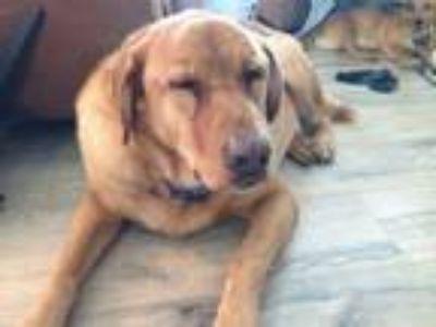 Adopt Broady a Labrador Retriever, Chow Chow