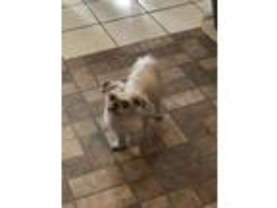 Adopt Lucy a White Shih Tzu / Mixed dog in Slidell, LA (25262821)