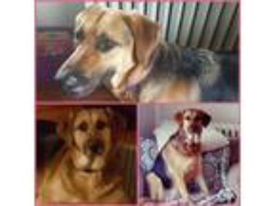 Adopt Betsy a Brown/Chocolate - with Black Hound (Unknown Type) / Shepherd