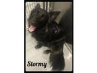 Adopt Stormy - 1905163 / 2019 a Border Collie