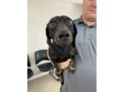 Adopt ADOPTED a Black Dachshund / Mixed dog in Fort Worth, TX (25576532)