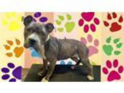 Adopt BELLISARIO a Pit Bull Terrier, Mixed Breed