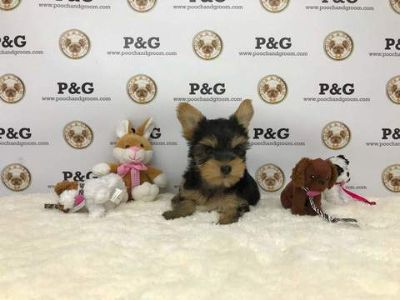 Yorkshire Terrier PUPPY FOR SALE ADN-71863 - Yorkshire Terrier Linda Female