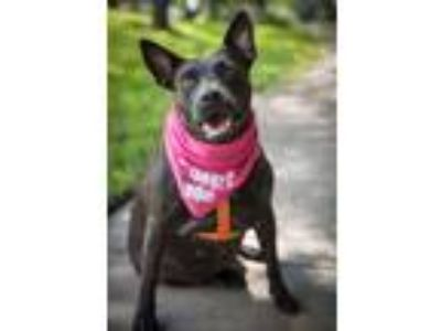 Adopt Turtle a Black Pit Bull Terrier / Mixed dog in Houston, TX (14384496)