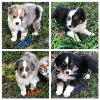 Australian Shepherd PUPPY FOR SALE ADN-89799 - MINI AUSTRALIAN SHEPHERD PUPPIES