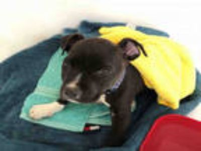Adopt a Black - with White American Pit Bull Terrier / Mixed dog in Agoura