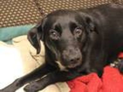 Adopt CINDERELLA a Black Labrador Retriever / Mixed dog in Fort Wayne