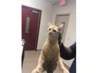 Adopt EVEREST a Orange or Red Tabby Domestic Shorthair / Mixed (short coat) cat