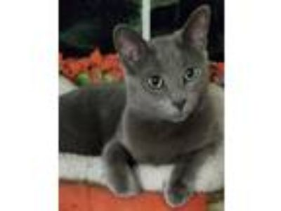 Adopt Maddon a Russian Blue, Domestic Short Hair