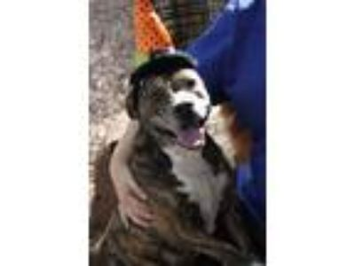 Adopt Lolly a Brindle - with White American Staffordshire Terrier / Shepherd