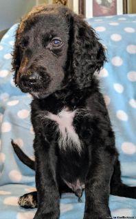 Black Goldendoodle Puppies!