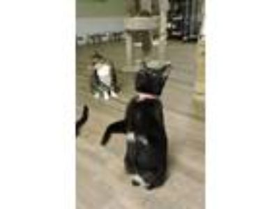 Adopt Sassy a Black (Mostly) Domestic Shorthair (short coat) cat in Macon