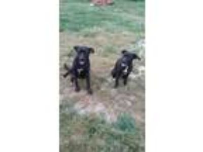 Adopt dude a Black - with White Labrador Retriever / Labrador Retriever / Mixed