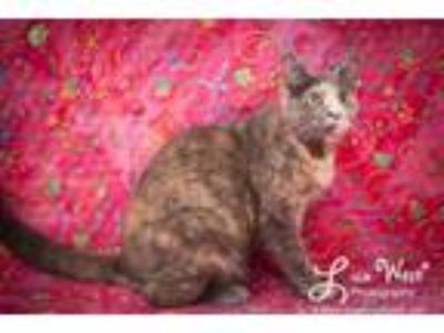 Adopt Saren a Dilute Calico, Domestic Short Hair