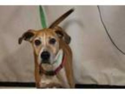 Adopt Madeline a Tan/Yellow/Fawn Hound (Unknown Type) / Mixed dog in Daytona