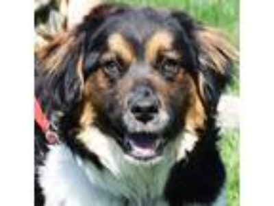 Adopt Spencer a Tricolor (Tan/Brown & Black & White) Collie / Spaniel (Unknown