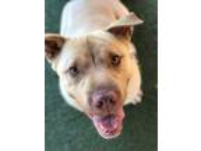 Adopt Gambit a Labrador Retriever / Shar Pei / Mixed dog in Birmingham