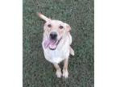 Adopt Skully a Labrador Retriever