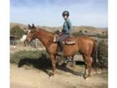 Blended To Win aka Ready 12 year old 16hh chestnut Thoroughbred gelding